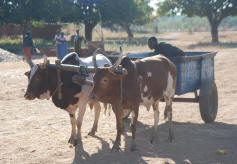 Using Ox Carts for hauling